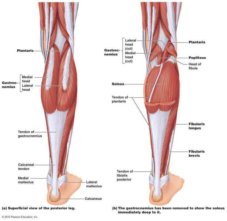 Anatomy Of Calf Muscle Muscle Anatomy Calf Anatomy Human Body