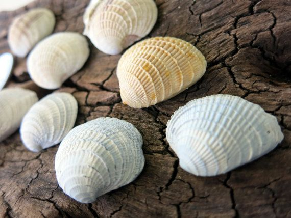 8pcs Pecten Scallop Seashells 1  Argopecten by MrsBeachComber