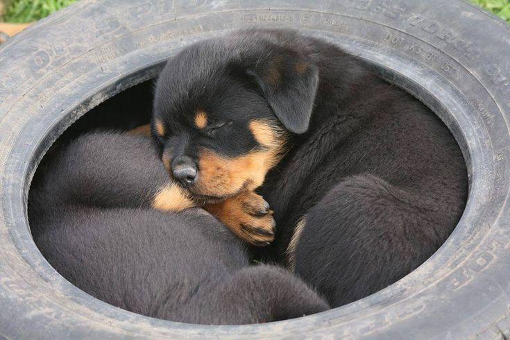 #Rottweiler #puppies                                                                                                                                                     Más