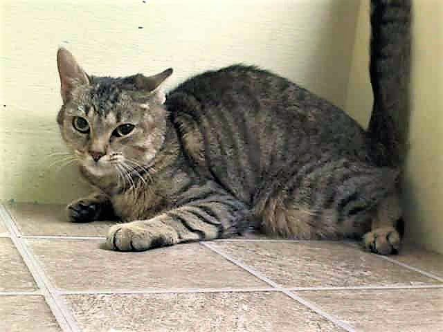 SAVI A0998799 –**RETURN** SAVI lost her home to eviction –  Super Urgent Shelter Cats  These animals are either high risk, injured or have previously appeared on the To Be Destroyed list and survived. They are in danger of being on the list again or destroyed without any further notice.