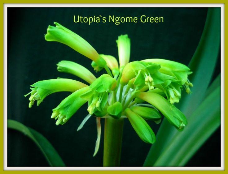 Utopia`s Ngome Green in flower now