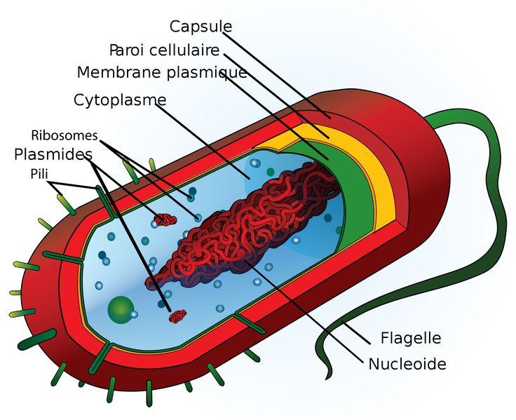 adn procaryote eucaryote - Recherche Google