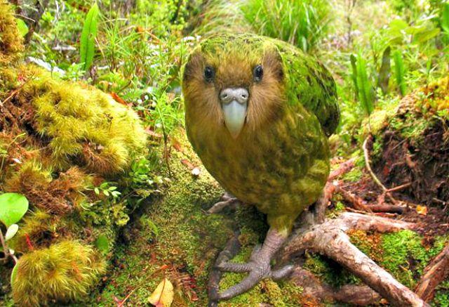 Kakapo. 20 Animals Near Extinction in the Wild!