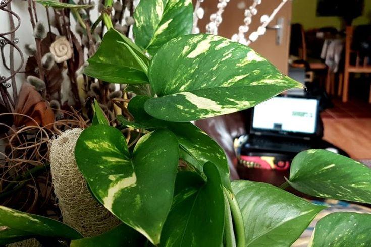 Szobai futóka: a növény, amelyből mindenkinek a családjában van legalább egy példány
