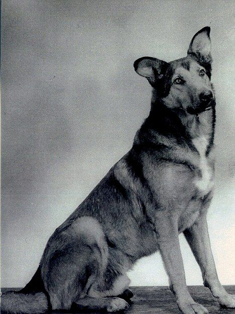 Bing, the dog of war who parachuted into France to become a D-Day hero.  He was one of the first dogs to be dropped behind enemy lines with  British paratroopers. From the moment the two-year-old Alsatian-collie cross put his paws on Normandy soil (albeit after a tangle with a tree) he was ready for action.