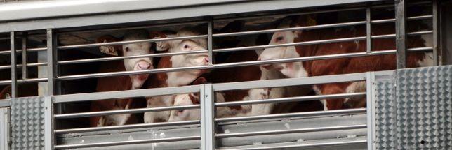 Kälber schauen durch die Gitter eines Tiertransporters