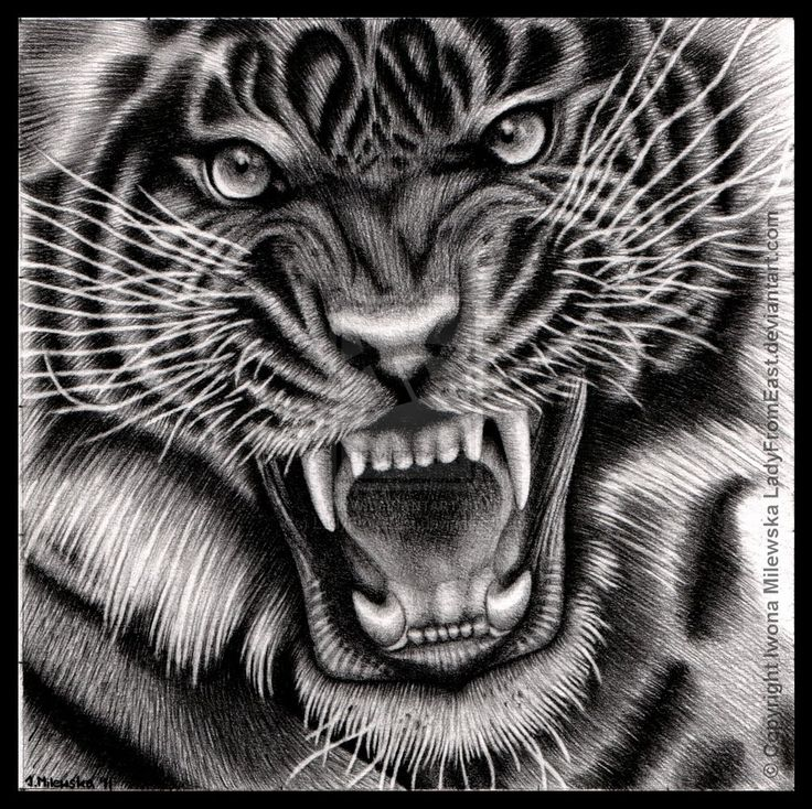 Images For > Art Pencil Drawings Of Animals