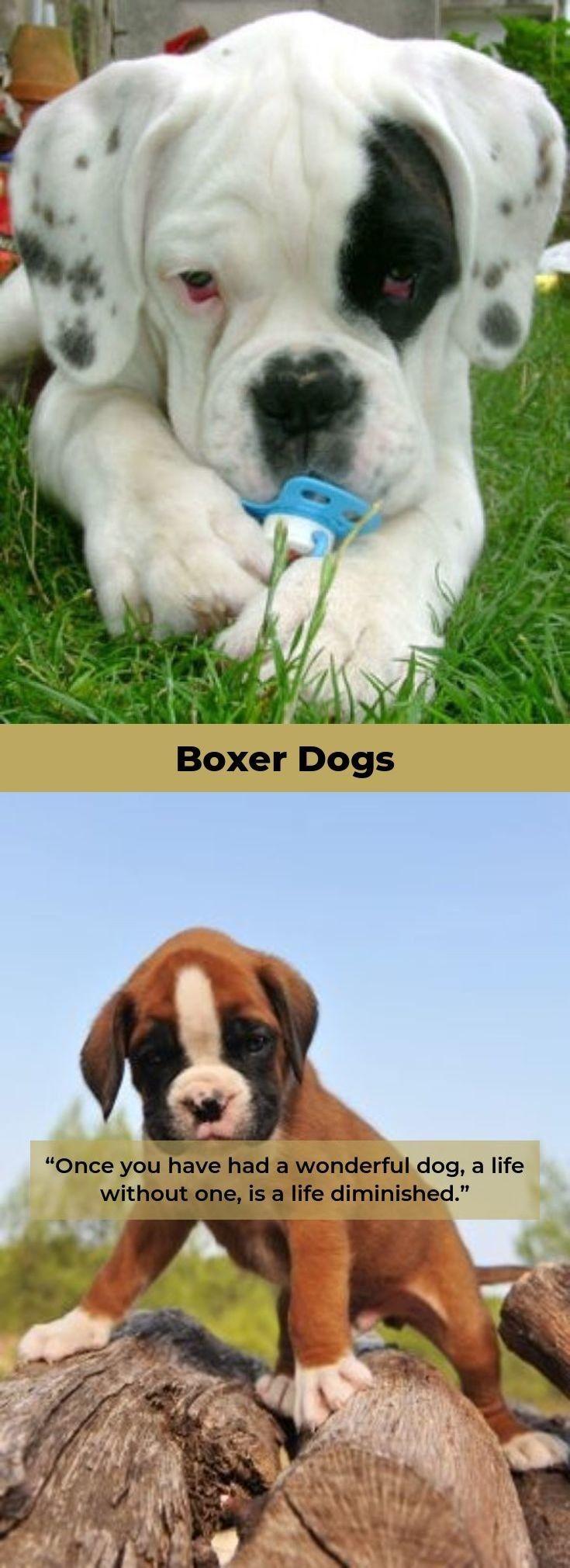 Boxerdog Boxerdogsoninstagram Boxer Puppies Boxer Dogs Boxer Puppy