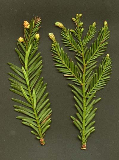 Sequoia sempervirens — California redwood | Tattoos ...