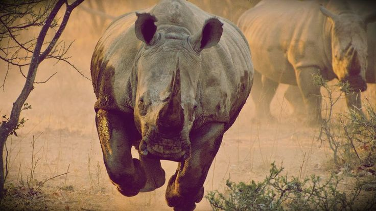 Increible Gigante Rinoceronte Mata a Jabale