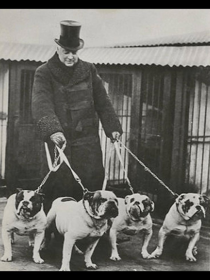 Churchill And His Bulldogs English Bulldog Funny Bulldog Breeds