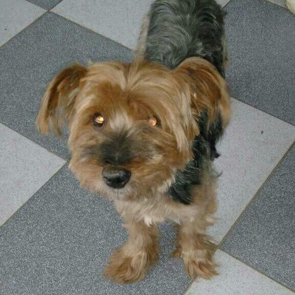 Hola este es un perro perdido con estómago fragil  de 13 años si lo encuentran por favor llamar o mandar mensaje al 1169799034 gracias