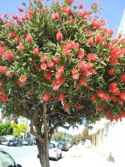 Pruned and trimmed to fit the urban environment: Callistemon, a.k.a. Bottlebrush Tree.
