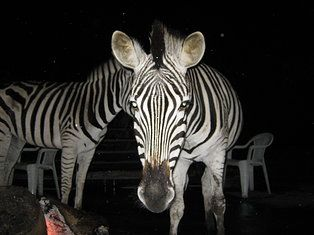 Mtunzini, South Africa - Tame zebras