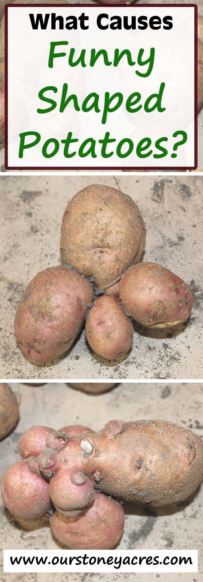 Weeds in flower beds with potato like roots - Why Did You Grow So Many Funny Shaped Potatoes You See The Pictures Floating Around