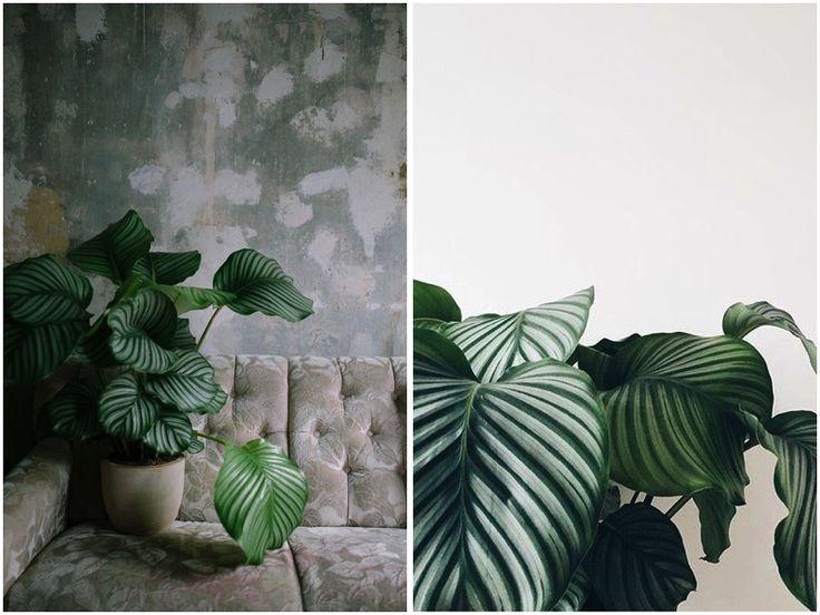 PLANT CRUSH: CALATHEA ORBIFOLIA