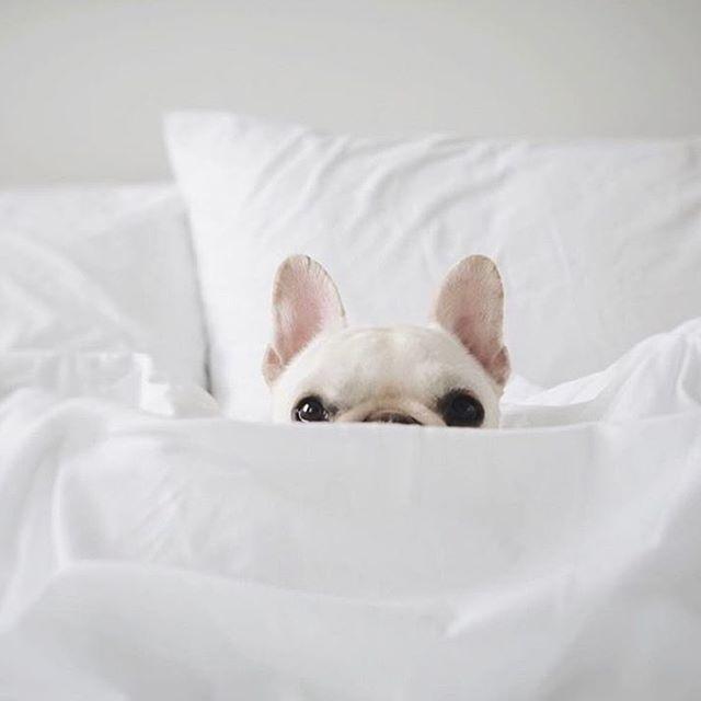 Peekaboo White French Bulldog