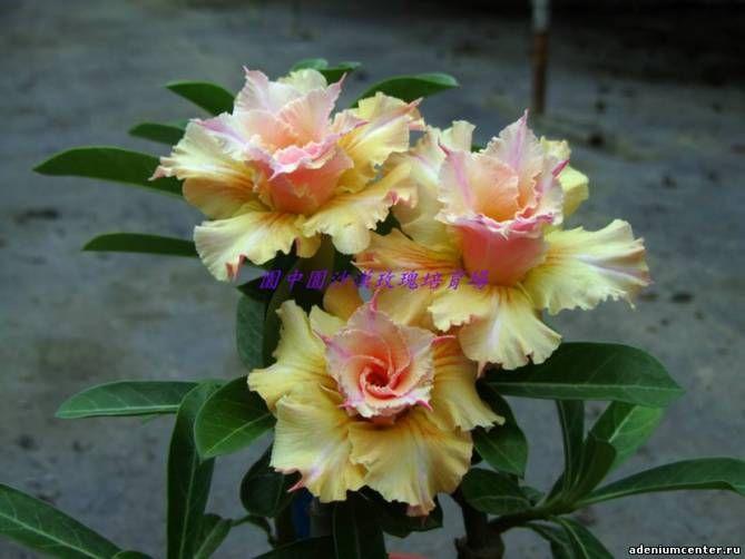 Желтые цветы на адениуме - Страница 4 - Форумы
