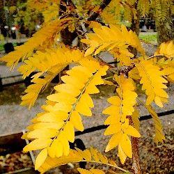 Gleditsia triacanthos 'Sunburst' - Golden Honey Locust