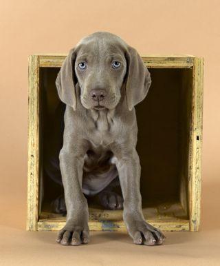 William Wegman, Basic, 2007. Weimaraner greyghost puppy with beautiful blue eyes.