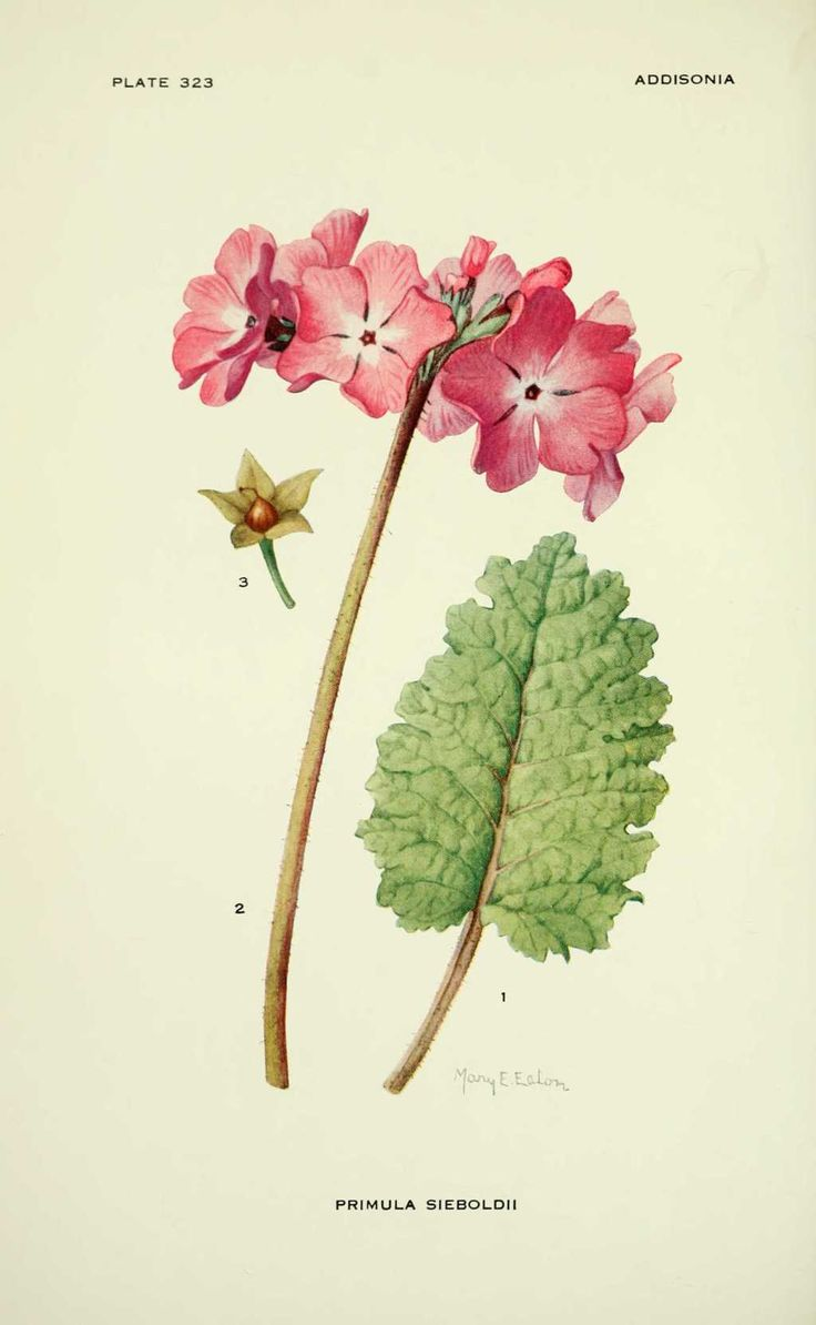 Primula sieboldii botanical illustration pinterest for Botanic fleurs artificielles