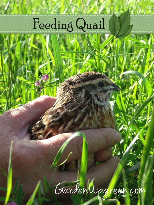 Backyard Quail Production :  about Quail on Pinterest  Gardens, Quails and Backyard chickens