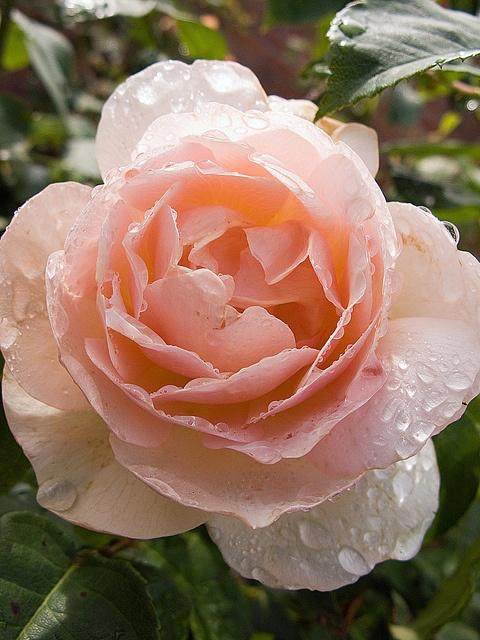 mary magdalene rose garden pinterest. Black Bedroom Furniture Sets. Home Design Ideas