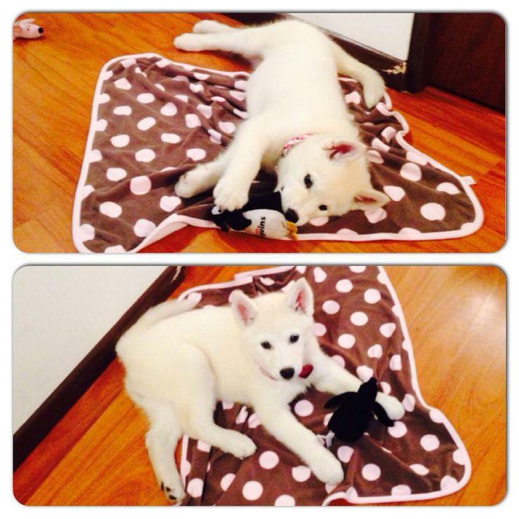 Puppy White Alaskan Malamute