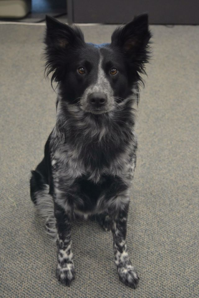 Pistol, my beautiful Border Collie Heeler mix.