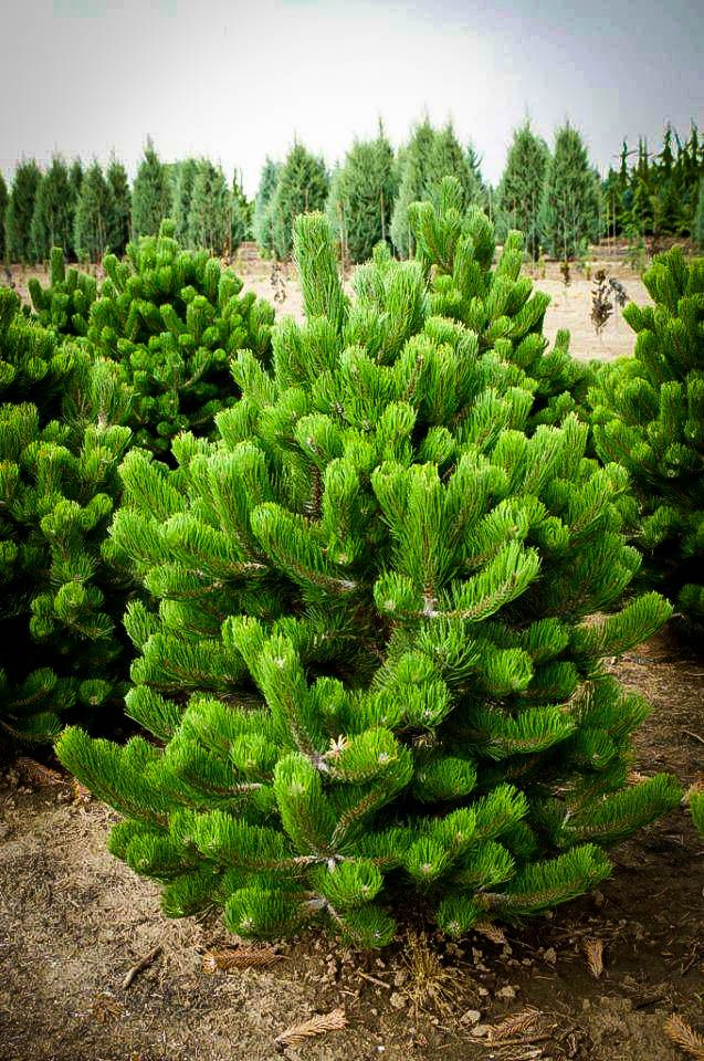 Buy Oregon Green Austrian Pine Online. Arrive Alive Guarantee. Free Shipping On All Orders Over $99. Immediate Delivery.