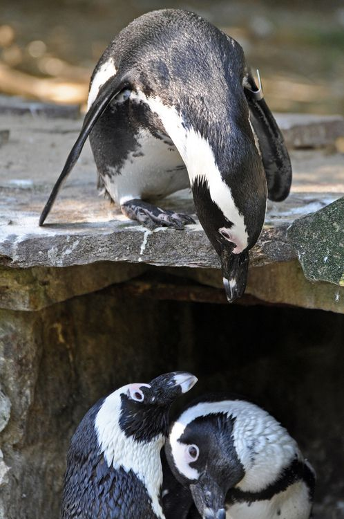 African Penguin (by Truus & Zoo)