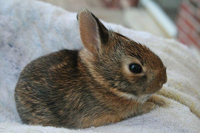 wild baby bunnies | Wild Baby Rabbit looks like our baby bunny!!!