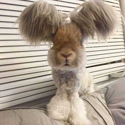 osCurve Magico: Wally, el conejo angora de sólo diez meses de edad...