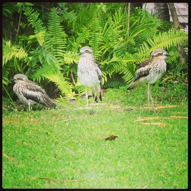 The Bush Stone Curlew on Daydream Island! #cruisewhitsundays #awesomewhitsundays #australia #daydreamisland #curlew #whitsundays #wildlife