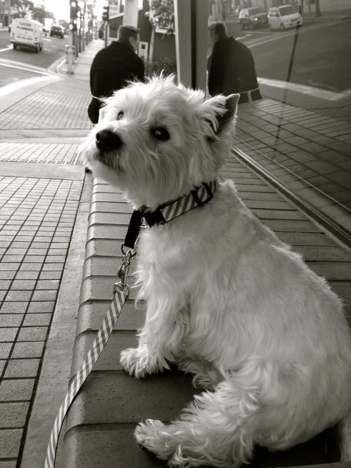 56 Best Images About West Highland White Terrier Dog Art