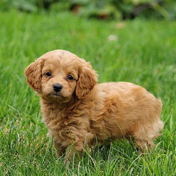 Forever Puppies For Sale Cavapoochon Puppies Forever Puppy