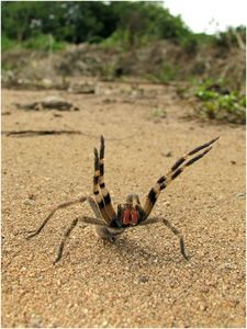 The Brazilian wandering spider is the most venomous of all spiders. It is called the wandering spider because it wanders the jungle floor at night rather than settling in a web. The spider isn't just deadly, it also gives its victims a painful and long-lasting erection!. The spider is also called the banana spider for it's notorious habit of hiding in bunches of bananas, causing great hazards to banana pickers. It is responsible for more deaths than any other spider in the world.