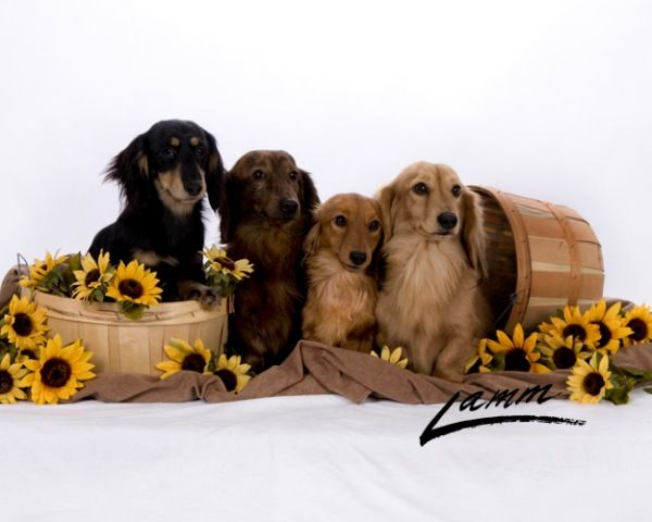 Longdox Mini Dachshunds Puppies Mini Dachshund Dachshund