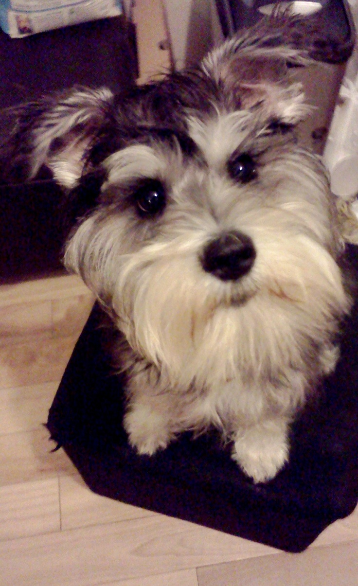 top 25 ideas about schnauzer on pinterest giant schnauzer schnauzer puppy and mini schnauzer. Black Bedroom Furniture Sets. Home Design Ideas