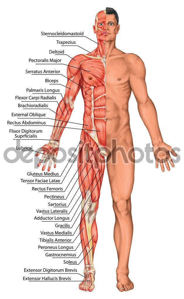 Anatomische Vorstand, männlichen Anatomie, anatomische Körper des Mannes…