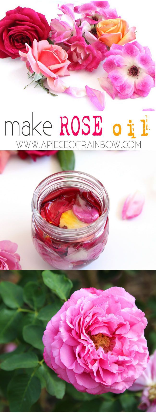 How to make rose oil from fresh roses in a yogurt maker! It's so easy, requires almost no work, and the rose oil smells heavenly! - A Piece Of Rainbow