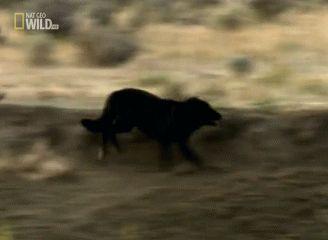 El misterio de los lobos negros de Norteamérica - Batanga