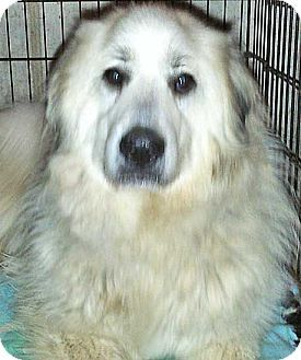 5/21/14 Beacon, NY - Great Pyrenees. Meet Laney - new! a Dog for Adoption.