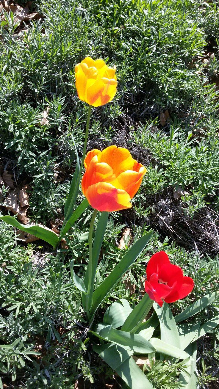 Tulipano giallo, rosso e screziato di giallo e rosso.