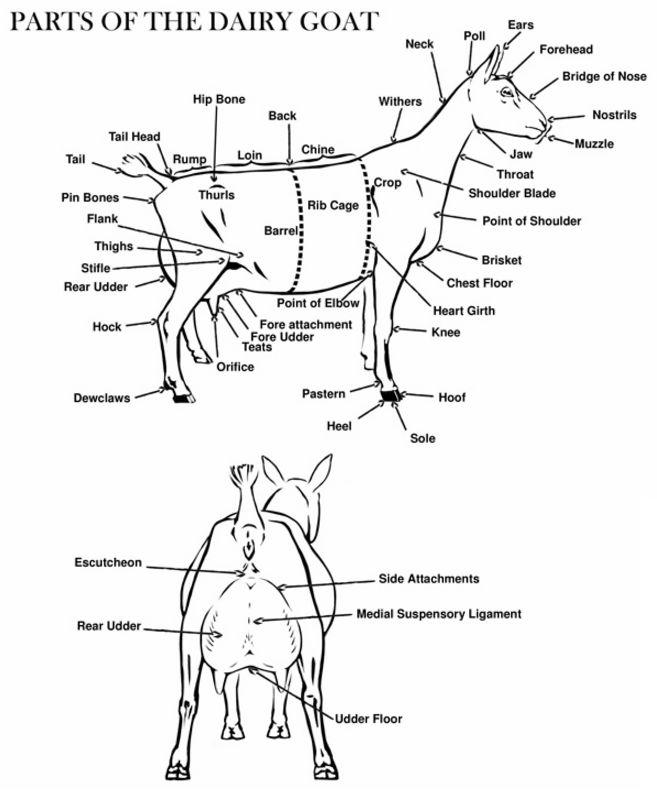 25 best Goat Showmanship (meat/market goats) images on
