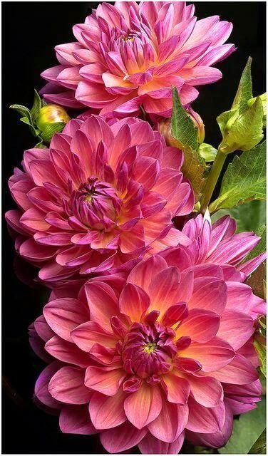 Dahlia is a genus of bushy, tuberous, herbaceous perennial plants native mainly in Mexico, but also Central America, and Colombia. A member of the Asteraceae (or Compositae), dicotyledonous plants, related species include the sunflower, daisy, chrysanthemum and zinnia. There are 42 species of dahlia, with hybrids commonly grown as garden plants.