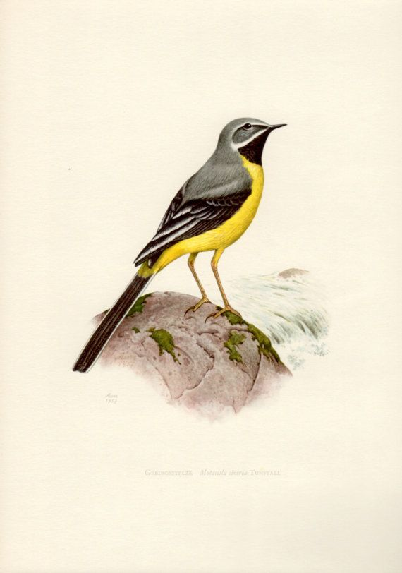 1958 Grey Wagtail Antique Print Vintage Lithograph by Craftissimo