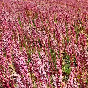 El cultivo de quinoa es una alternativa rentable al cultivo de girasol o de maíz, dada la poca producción actual y su creciente demanda en Europa se está vendiendo al consumidor por un precio bastante alto, requiere de poca semilla y las producciones oscilan entre 4000 y 6000 kilos por hectárea.