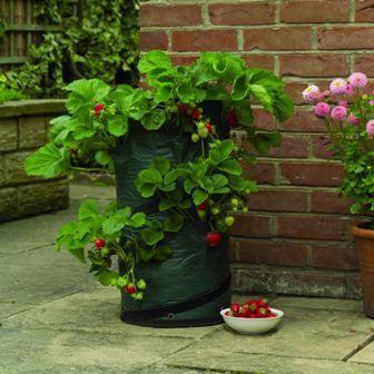 Como plantar fresas en bolsas (reportaje con fotos) - Página 3 - Foro de InfoJardín