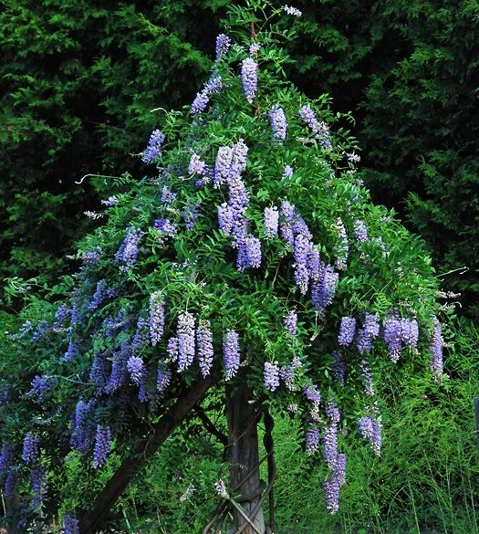 Wisteria macrostachya Blue Moon'. This is the first truly ...